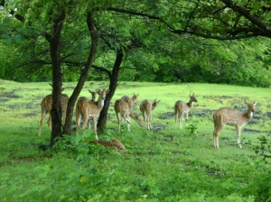 Group of deer in gir national park